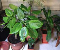 英会話教室での写真006 教室内で観葉植物を育てています。