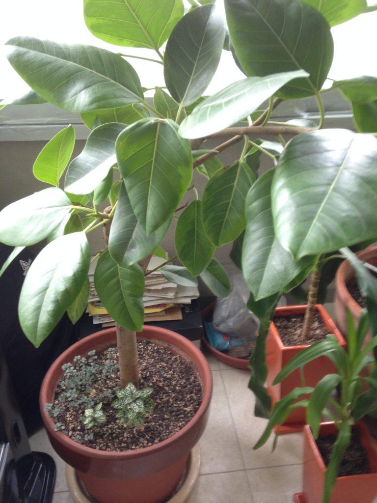 英会話教室の観葉植物。